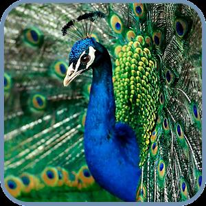 Peacock Live Wallpaper