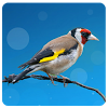 European goldfinch song